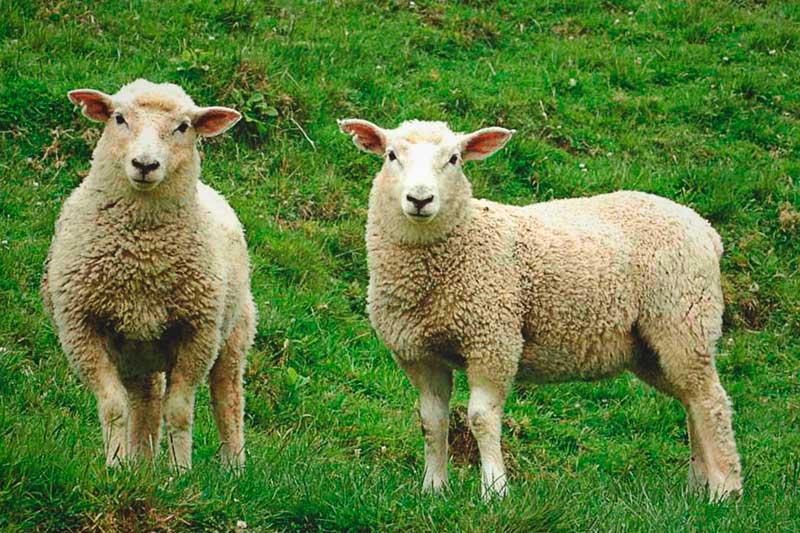 Resultado de imagen de ovejas